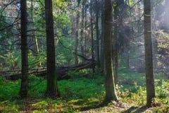 Sunbeam entering rich deciduous forest Stock Image