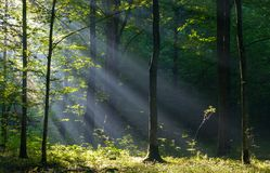 Sunbeam entering rich deciduous forest. In misty morning with old hornbeam trees in foreground, Bialowieza Forest, Poland, Europe Royalty Free Stock Images