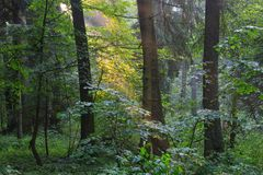 Sunbeam entering rich deciduous stand. Sunbeam entering rich deciduous forest in misty evening rain after with old spruce in foreground, Bialowieza Forest Stock Images