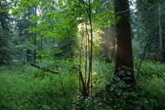 Sunbeam entering rich forest in misty evening Stock Image