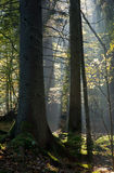 Sunbeam entering stand in autumnal morning Royalty Free Stock Photos