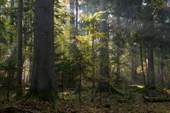 Sunbeam entering stand in autumnal morning Stock Image