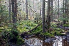 Sunbeam entrant dans la forêt conifére riche Photo stock