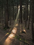 Sunbeam into fir tree forest. A sunbeam streams into a dark fir tree forest and spotlights the woody ground (German nature&#x29 Stock Image