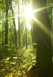 Sunbeam in a forest Royalty Free Stock Image