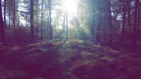 Forest sunbeam. Sunbeam in a forest Sun trees dark gloomy Stock Image