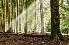 Sunbeam into the forest Royalty Free Stock Image