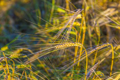 Sunbeam on golden corn. In field Royalty Free Stock Image