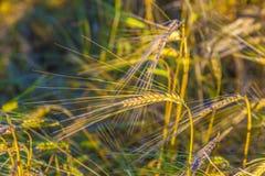 Sunbeam na złotej kukurudzy obraz royalty free