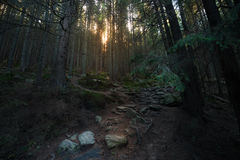 Sunbeam at old forest Stock Image