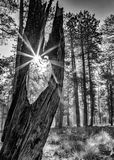 Sunbeam Through Old Tree in Forest - Monochrome Royalty Free Stock Photos