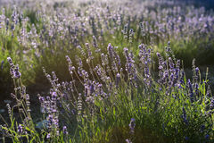 Sunbeam over lavender flowers Royalty Free Stock Images