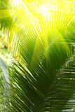 Sunbeam and palm tree. Bright  sunbeam and  palm tree leaves Stock Photography