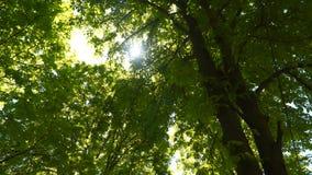 Sunbeam par les feuilles des arbres banque de vidéos