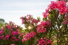 Sunbeam Passing Azalea flowers Stock Photography