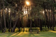 Sunbeam in pine tree forest Stock Photography