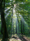 Sunbeam que entra na floresta deciduous rica foto de stock royalty free