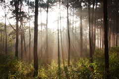 Sunbeam shinning thought fog in the midst of pines Royalty Free Stock Image