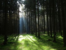 Sunbeam into spruce forest. A sunbeam streams into a spruce forest, highlighting the forest meadow Stock Photography
