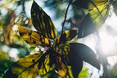 Sunbeam tramite le foglie verdi si chiude su Fotografia Stock