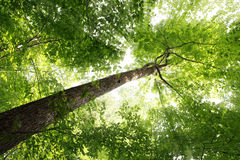 Sunbeam and Tree. Sunbeam through elm tree in the forest stock image