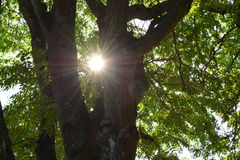 SUNBEAM TREE. SUN BEAMING THROUGH THE OLD TREE Stock Photography