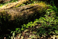 Sunbeam on trunk with moss. This photograph was taken in Matinhos, Paraná, Brasil. March 18, 2018 stock photography