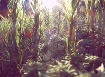 Sunbeam w Lesie Zdjęcie Stock