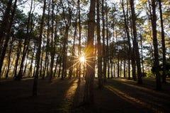 Sunbeam w natury sosny lesie Fotografia Stock