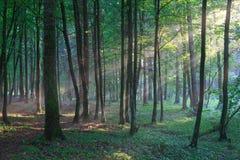 Sunbeam wchodzić do bogatego deciduous las w mglistym wieczór Obraz Royalty Free