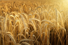 Sunbeam in a wheat field Royalty Free Stock Photos