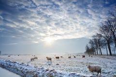 Sunbeams über Winterweide mit Schafen Stockbild