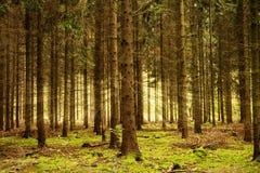 Sunbeams в лесе Стоковая Фотография