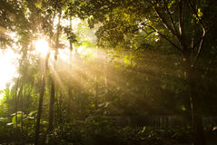Sunbeams. Sun rays radiating through the gap in the branches and leaves of the trees in a dense vegetation Royalty Free Stock Image