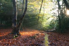 Sunbeams. In a beech wood Stock Photos
