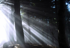 Sunbeams. In forest Stock Image