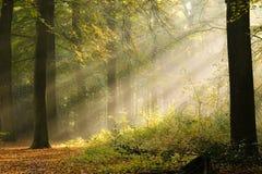 Sunbeams adiantados nas madeiras imagem de stock royalty free