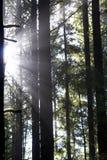 Sunbeams através das árvores Fotos de Stock Royalty Free