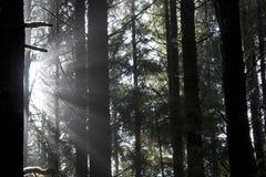 Sunbeams através das árvores Foto de Stock Royalty Free