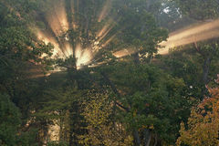 Sunbeams in Autumn Forest Stock Photo
