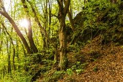 Sunbeams błyszczy przez zielonych liści drzewa Fotografia Stock