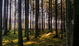 Sunbeams between bare trees Stock Photography
