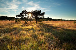 Sunbeams behind pine trees Royalty Free Stock Photo