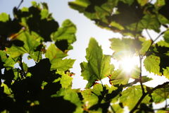 Sunbeams through big leaves, blurred borders. A detailed view of some sunbeams through the leaves of a big tree, in a bright sunny day, landscape cut Royalty Free Stock Images