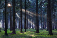 Sunbeams in coniferous forest Royalty Free Stock Photography