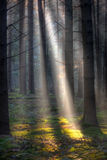Sunbeams in a dark forest Royalty Free Stock Photos