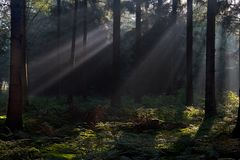 Sunbeams in a dark forest Stock Images