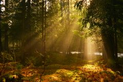 Sunbeams in deep wood in summer morning. Misty conifer forest with incident sunrays royalty free stock photos