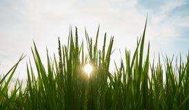 Rice Fields Stock Photos