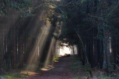 Sunbeams in einem Wald Lizenzfreie Stockfotos